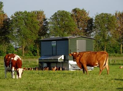 koeien bij de kippenkar